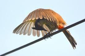 Cách chọn lồng chim chào mào phù hợp